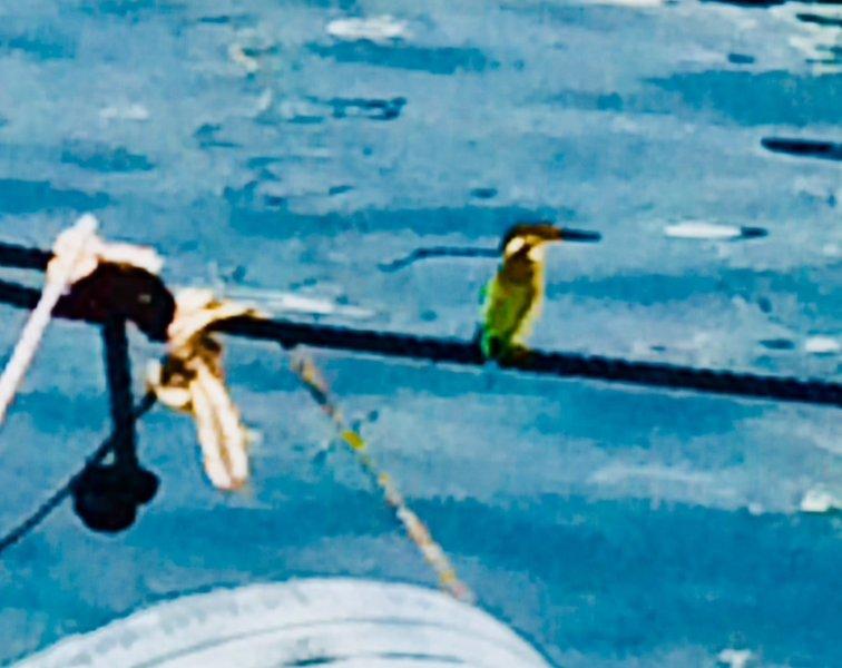 Kingfisher at Zygi harbour. Dalla's Cyprus Retreat, Maroni village, Larnaca district, Cyprus.