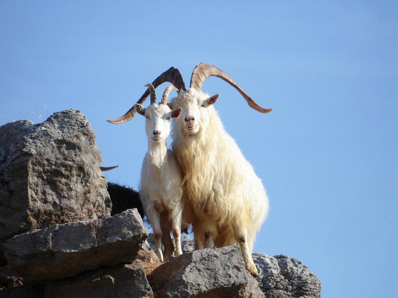Vedere queste belle capre in tutto il Great Orme