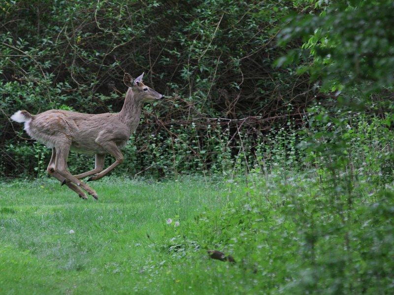 Herten zijn er in overvloed in de Adirondacks!