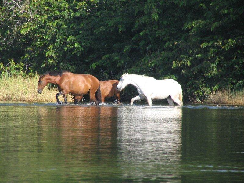 Caballos vadeando en la laguna