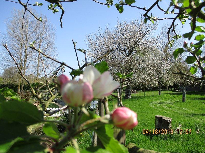 """Die Apfelblüten """"die Kamelien"""""""