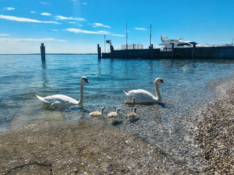 También la familia de este cisne ha elegido para sus vacaciones Moniga