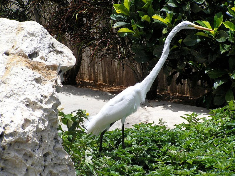 White Heron, a frequent visitor to the Villa