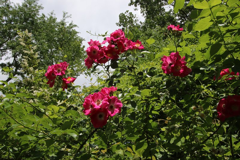 Wild roses in the garden