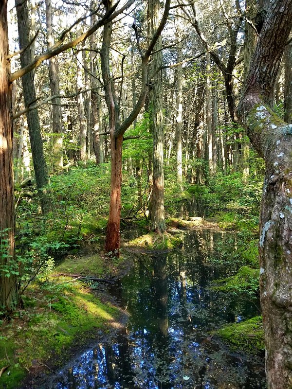 Nearby for a nice walk is the White Cedar Swamp Trail.