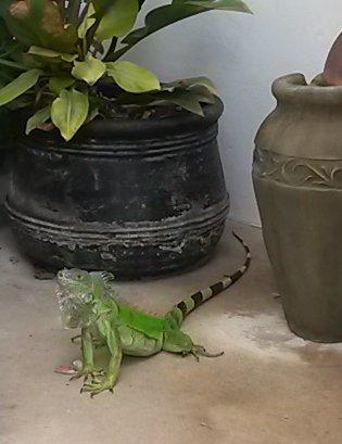 iguana ocasional visitar os jardins