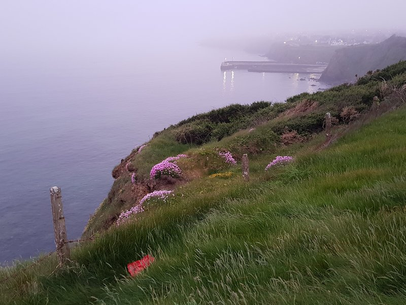 Doneraile accessible cliff walk covered in cushions of Sea Pink. Tramore Pier is in the background.