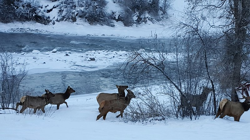 Elk along the river bank