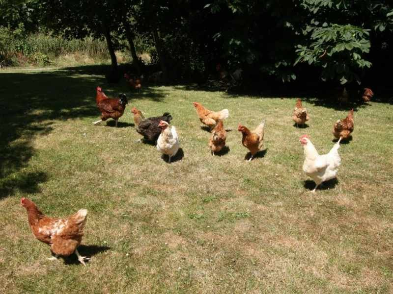 Chickens at Pollingarrow Farm