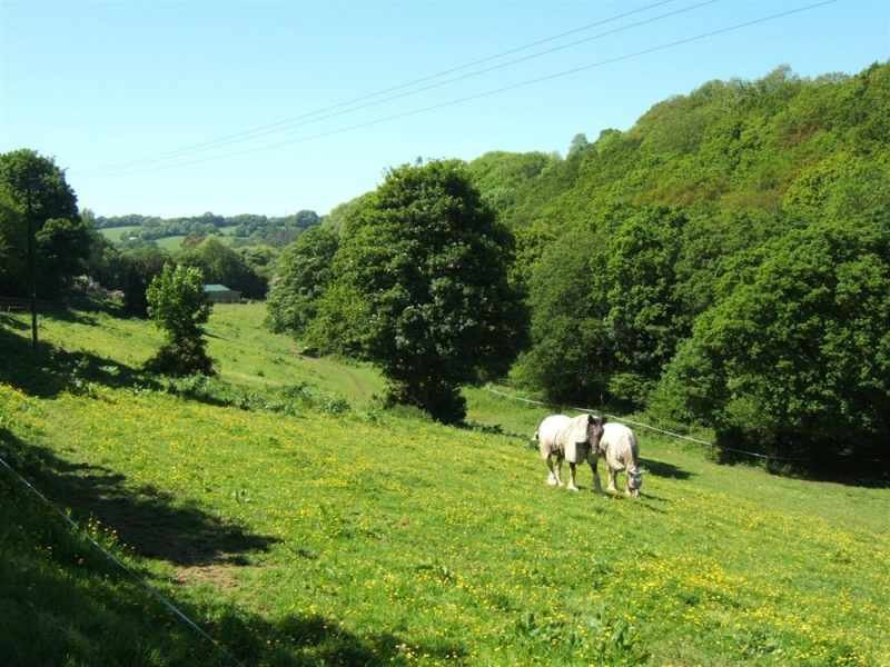 Shire horses in the field