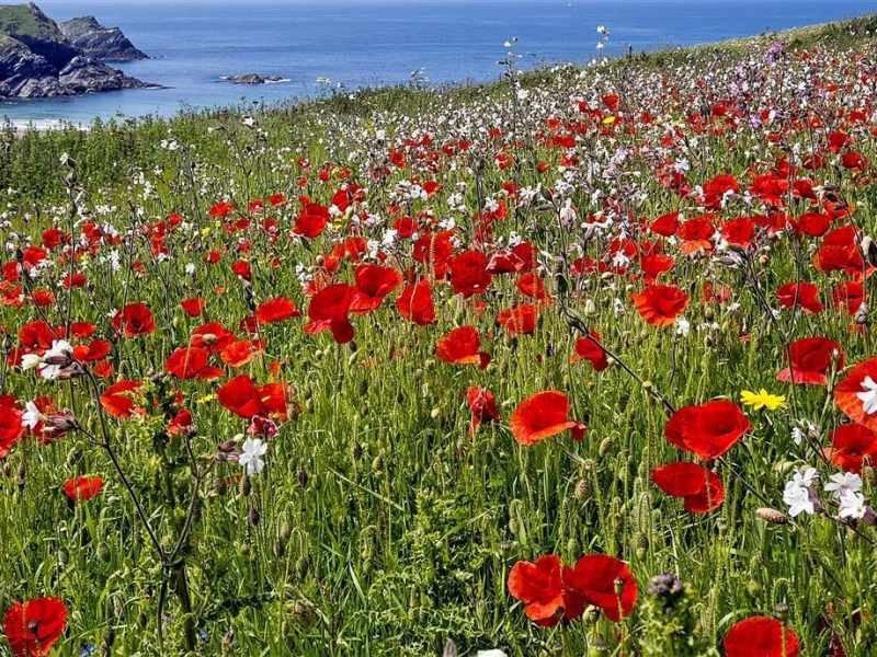 Poppy fields at Polly Joke near Crantock
