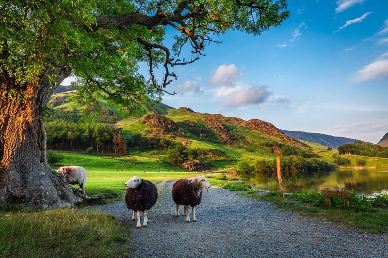 Herdwick sheep, hefted to the Lakeland fells and valleys