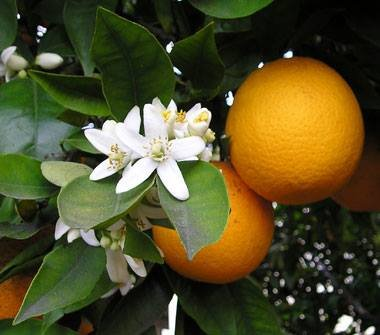 Orange blossom in our groves