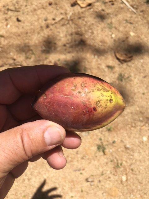 Mandorle nativi per Vieques trovati sulla nostra proprietà