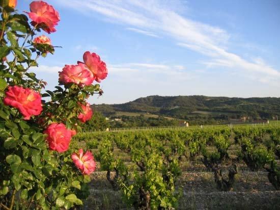 Vineyard close by
