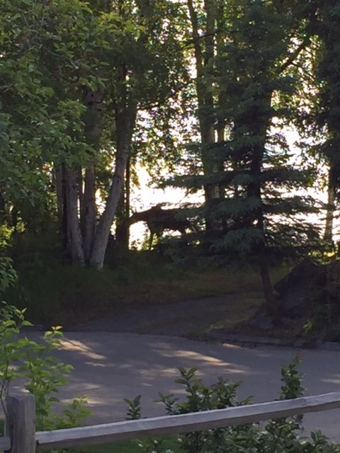 Moose across the street along the bluff of Cook Inlet, ocean and sunset behind.