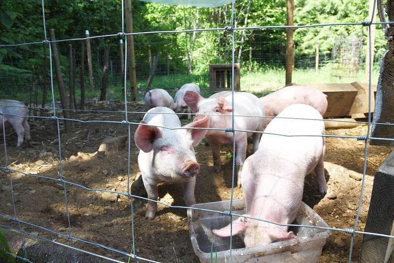 eight little friends   (Sus scrofa domesticus) also know as pigs.