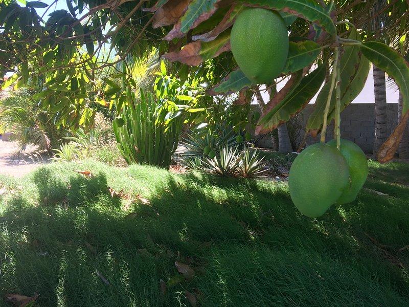 Mango de en nuestro jardín
