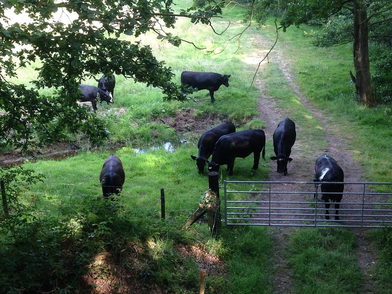 cattle grazing on the Railway Line walk