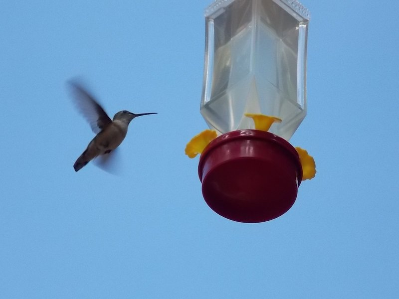 Hummingbirds are here late April until early September