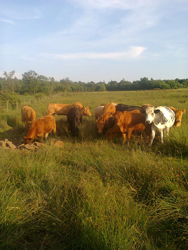 Cattle at our farmstead