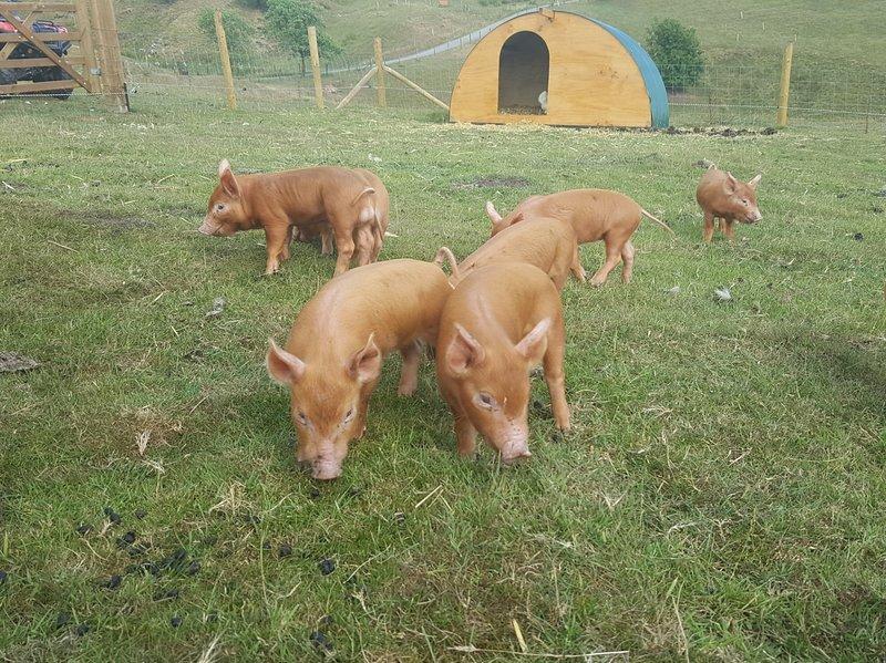 Watch beautiful rare breed pigs rooting around