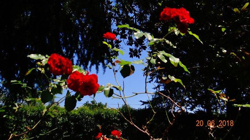 rosiers sur la terrasse
