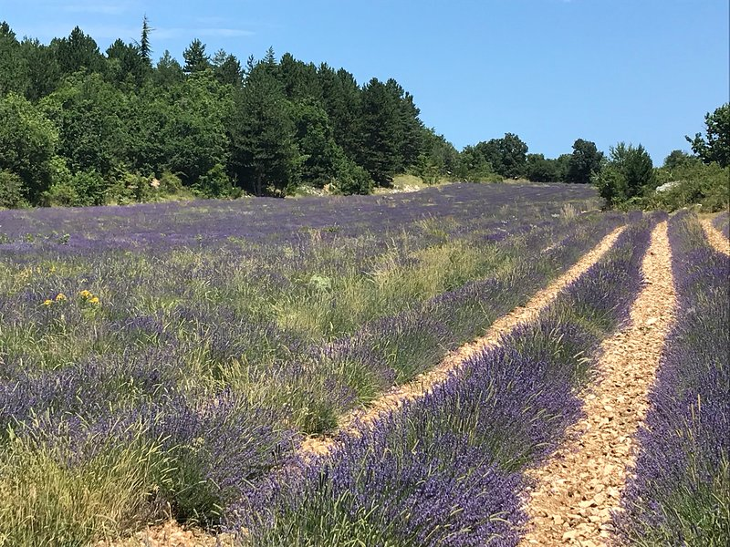 Nearby lavender fields towards Sault. Best viewing time is in July.