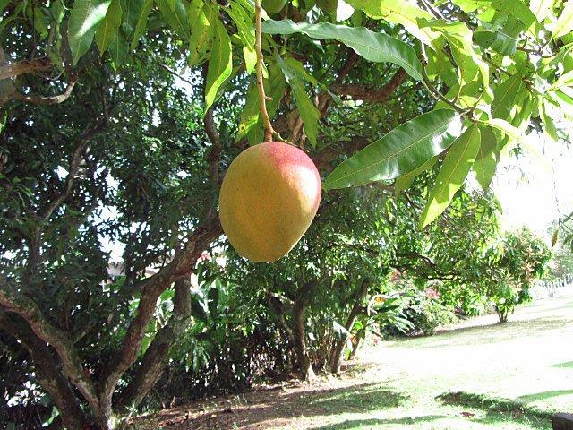 Délicieux manguiers