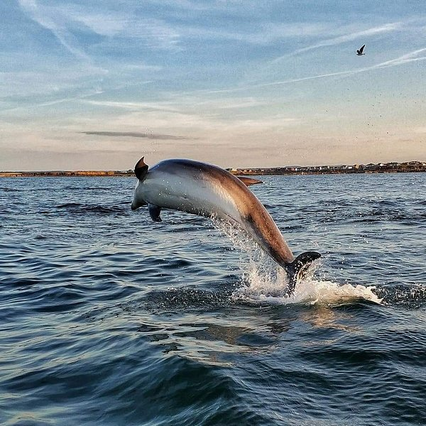 dolphins just off watersedge
