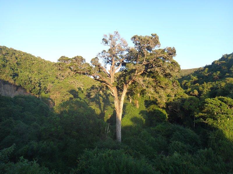 Wise vieux Yellowwood arbres dans la rivière Groot passent vers Nature's Valley.