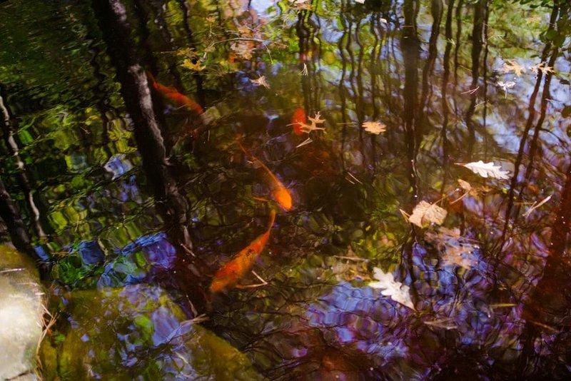 Laghetto di pesci Koi sulla proprietà