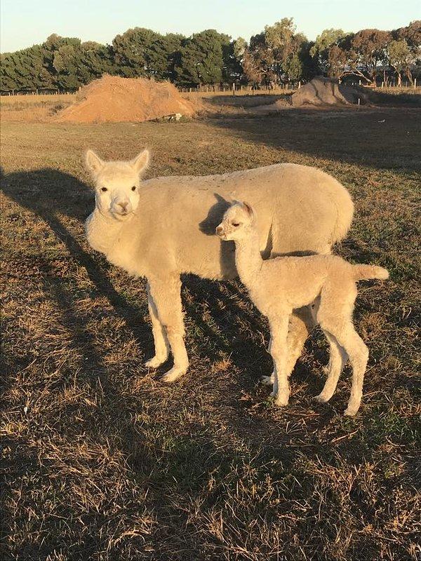 De nieuwste aankomst op de boerderij! Kom en ontmoet baby Sunshine een van onze huisdieren Alpacas