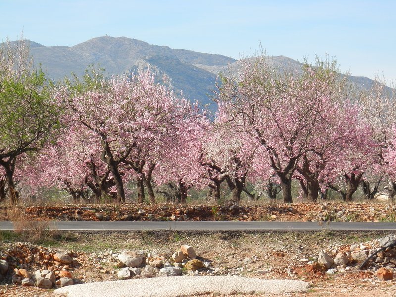 February is almond blossom time