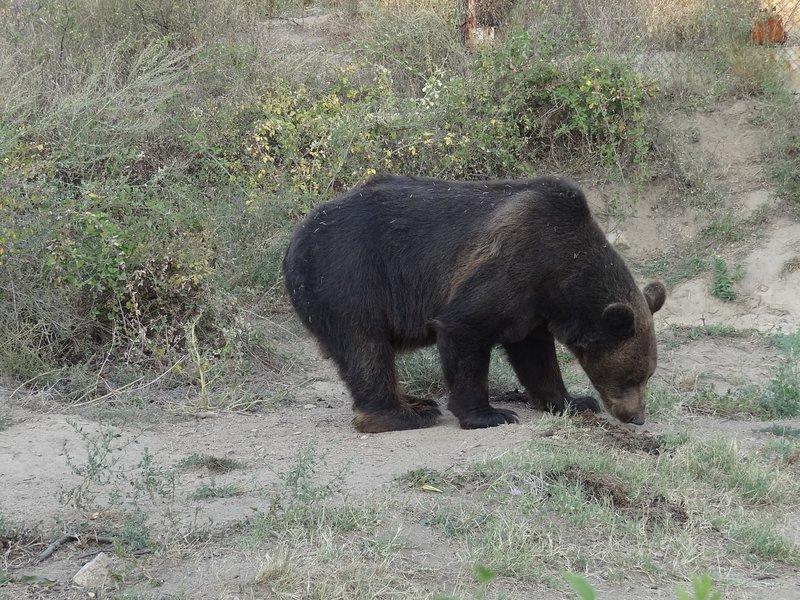 Un oso pardo en el pueblo ecológico en la región de Strumyani