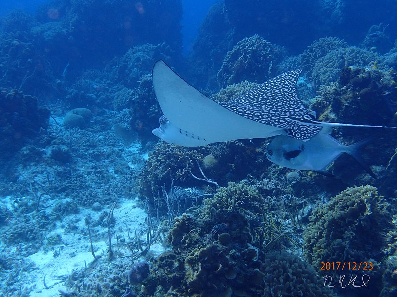 White spotted eagle ray.