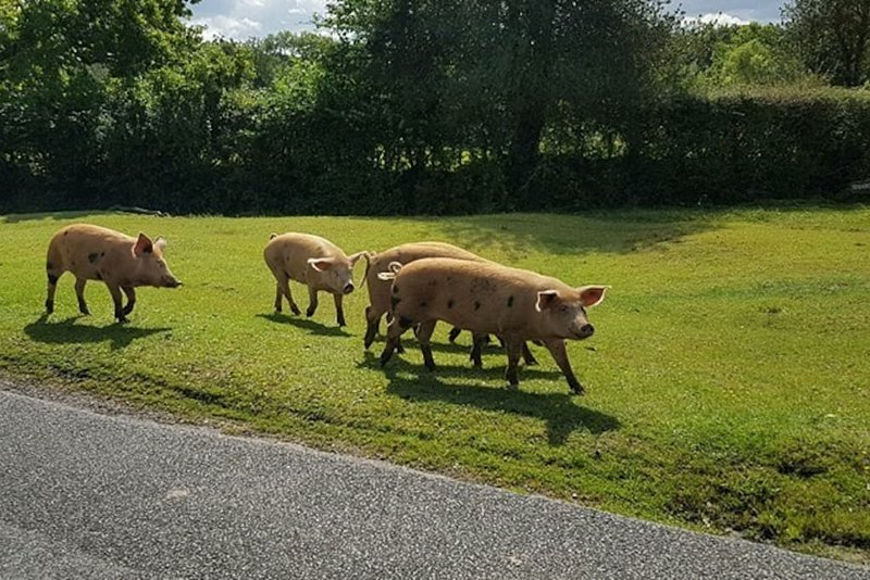 Pigs in our street during Pannage in the autumn.
