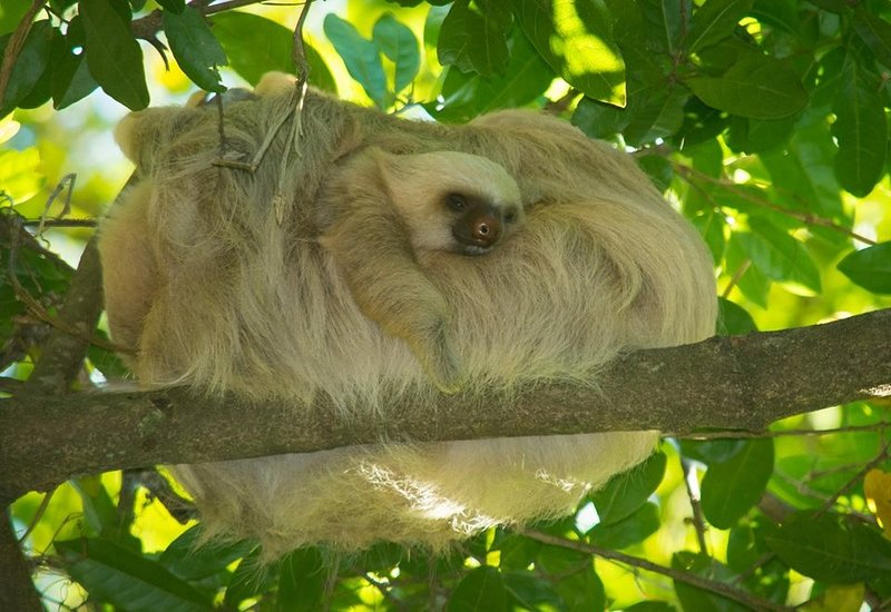 two toed sloth with baby