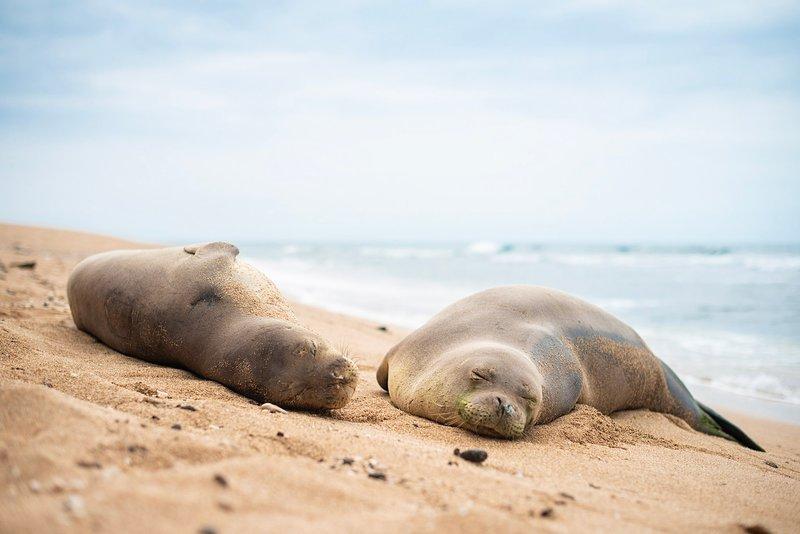 Kauai Monk Seals