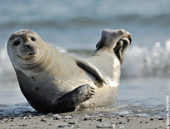 Les phoques, visibles à la pointe du Hourdel