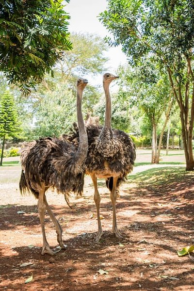Our feathered friends: Ostriches