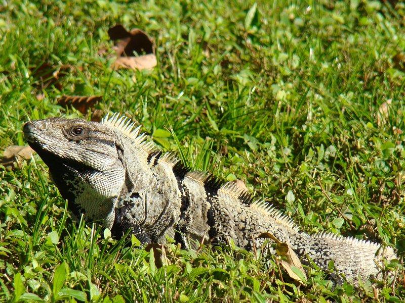 Iguana coda spinosa in giardino