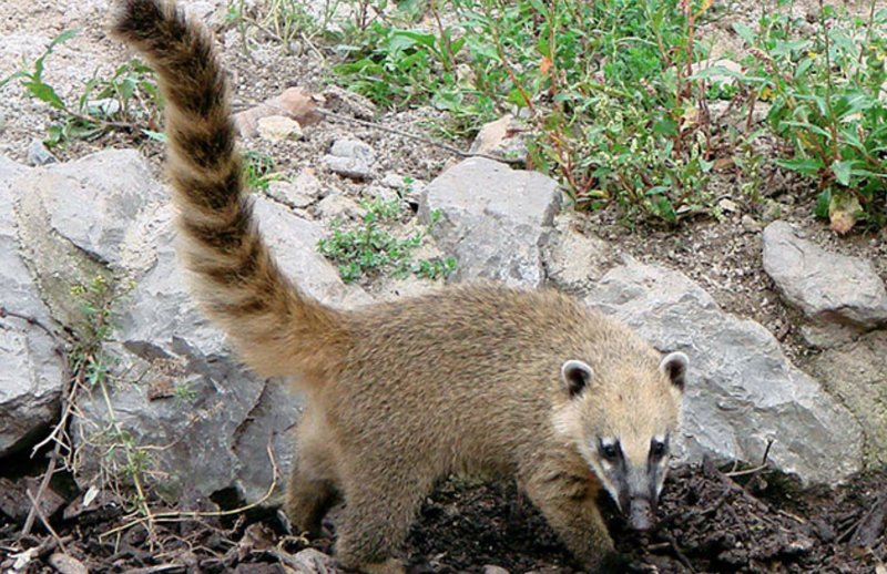 You will also find daring coatis that run wild throughout the park.