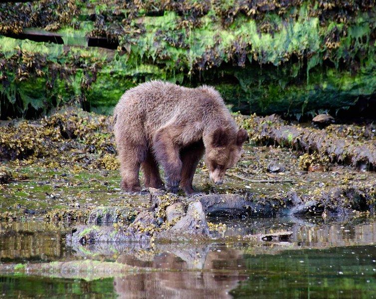 El príncipe Rupert es una puerta de entrada al primer santuario grizzly de Canadá y Haida Gwaii. Excelente vida salvaje