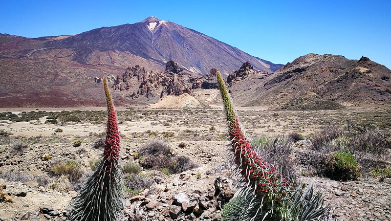 Image of teide national park with tajinastes in blossom.