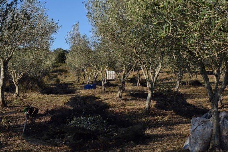 Raccolta degli ulivi