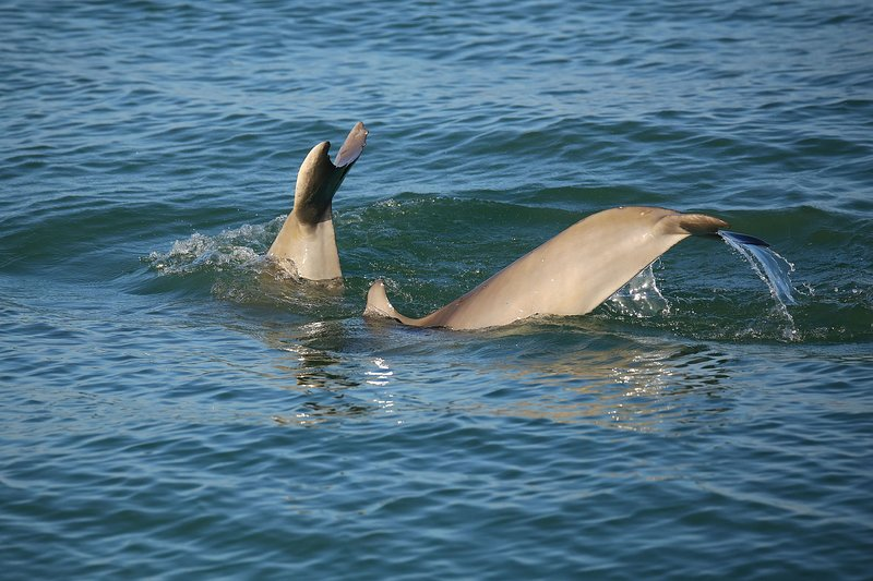 Dolphins are a Common Site at All Naples Beaches!