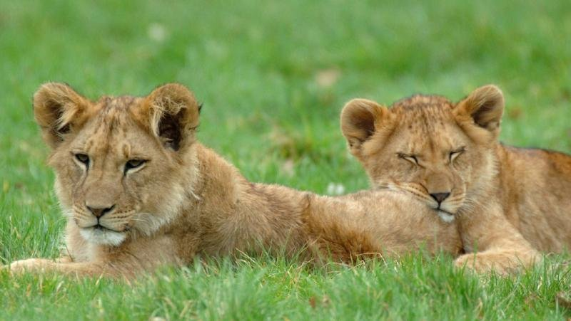 The lions at nearby Longleat House and Safari Park