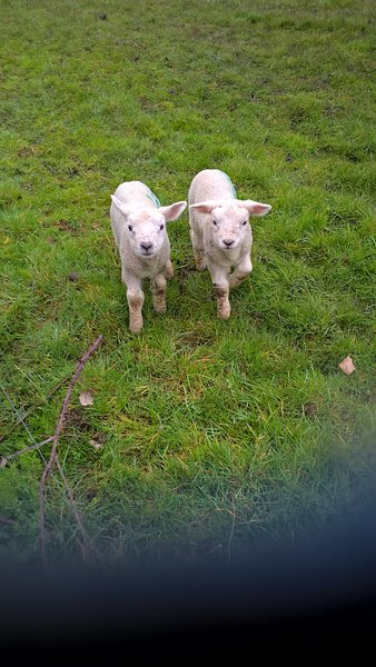 Spring lambs in the field.