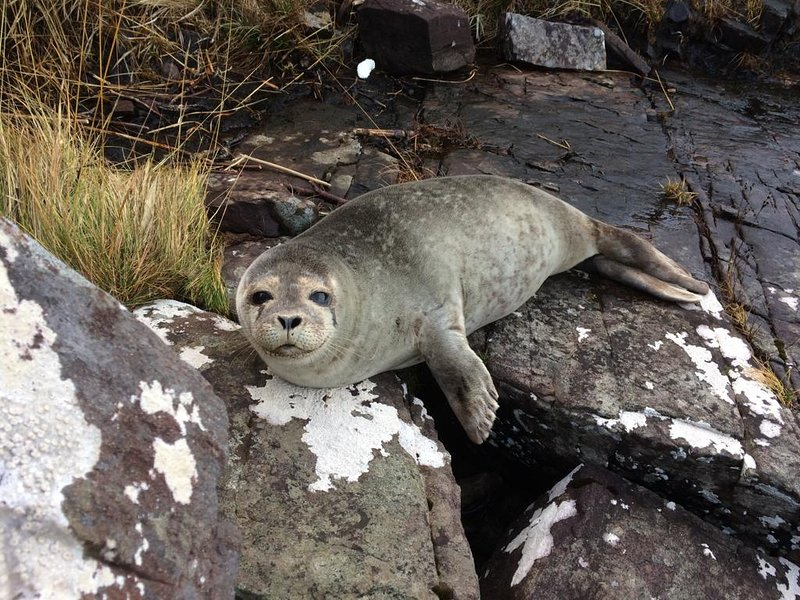 Seal pup on beach below the Old Crofthouse.
